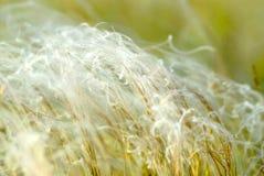 fjädergräs arkivfoton