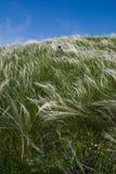 fjädergräs Arkivbild