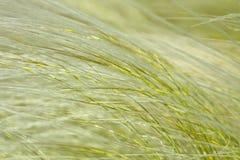 Fjädergräs framkallar Arkivbilder