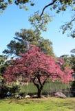 Fjäderjapanträdgård med en blomstra Sakura Royaltyfri Foto