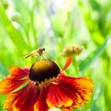 Fjädermygga på den orange blomman royaltyfri bild