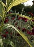 Fjädermygga på det gröna bladet Arkivfoto