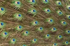fjädern gjorde modellpåfågeln Arkivbild