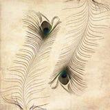fjäderpåfågel Arkivfoto