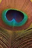 fjäderpåfågel Royaltyfri Fotografi