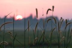 Fjäderpennisetum på solnedgångtid Royaltyfri Bild