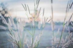 Fjäderpennisetuminen fältet på solnedgången Royaltyfri Foto