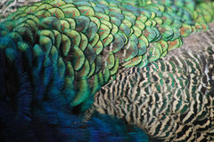 fjädertextur Fotografering för Bildbyråer