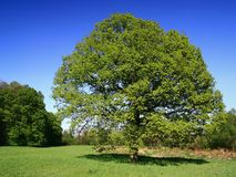 fjädertrees Arkivbilder