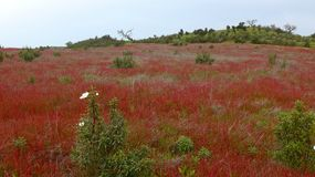 Fjädra ängen med röda lösa blommor i Alentejo, Portugal Royaltyfria Bilder