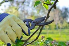 Fjädra att beskära av sax för det unga fruktträdet för filialer trädgårds- Arkivfoto