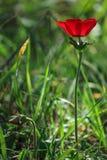 Fjädra att blomma av en enkel röd anemon i skogen Arkivbild