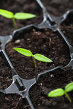 Fjädra att växa för planta Arkivbilder