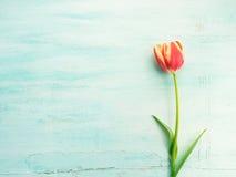 Fjädra bakgrund för pastellfärgad färg för den easter tulpan blom- minsta Royaltyfri Bild