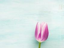 Fjädra bakgrund för pastellfärgad färg för den easter tulpan blom- minsta Arkivbild