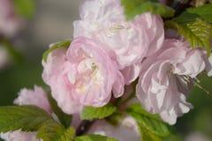 Fjädra bakgrund med den japanska orientaliska körsbäret sakura för blomningen Royaltyfri Fotografi