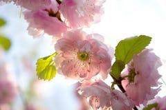 Fjädra bakgrund med den japanska orientaliska körsbäret sakura för blomningen Royaltyfria Foton