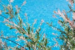 Fjädra bakgrund med filialen av den blommande pilen ovanför vattnet Fotografering för Bildbyråer