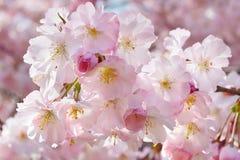 Fjädra bakgrund med rosa blommor royaltyfria foton
