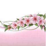 Fjädra bakgrund med rosa körsbärsröda blommor Fotografering för Bildbyråer