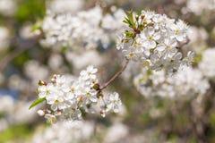 Fjädra blom, blomningkörsbärblommor, suddig abstrakt backgroud Royaltyfri Bild