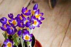 Fjädra blommakrokus i krukan Royaltyfri Bild