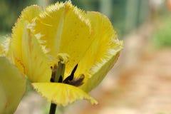 Fjädra blomman av den guling satte fransar på tulpan på suddig bakgrund Royaltyfri Bild