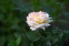 Fjädra blommande härligt steg i mjuk fokus på mörker - utomhus- närbildmakro för grön bakgrund Arkivfoto