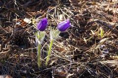 Fjädra blommapulsatillaen, gruppen av purpurfärgade blommor med solsken, på bakgrundssolnedgång eller gryning Första violetta vår Arkivbild