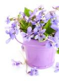 Fjädra blommaviolets med bladet i liten hink Royaltyfri Fotografi