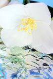 Jasminen med bevattnar royaltyfria bilder