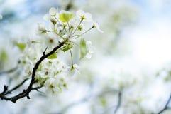 Fjädra blomningar på en förgrena sig Fotografering för Bildbyråer