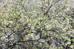 Fjädra blomningbakgrund, härliga vita vårblommor Friskhet, doft och mjukhet Royaltyfria Foton