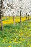 Fjädra blomningen i vit- och gulingblommafruktträdgård och göra grön gras Fotografering för Bildbyråer
