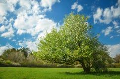Fjädra blomningpäronträdet under blå himmel mycket av moln Färgrikt foto med utrymme för din montage Arkivbilder
