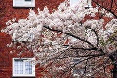 Fjädra blomningträdet framme av husfasaden i Dublin Royaltyfria Foton