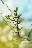 Fjädra blomstra vårblommor på ett plommonträd mot mjuk flo Arkivfoto