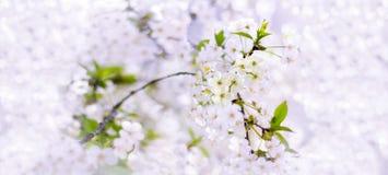 Fjädra closeupen för körsbärsröda blomningar, den vita blomman på suddig backgrou Arkivbild