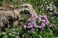 Fjädra cyklamen, försiktiga lilablommor nära stort vaggar Royaltyfri Bild