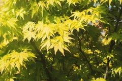 Fjädra den japanska lönnlövet, gul lövverk, vårnaturbakgrund Fotografering för Bildbyråer