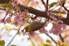 Fjädra den japanska Vit-ögat för bakgrund fågeln & rosa färger Cherry Blossoms Arkivfoton