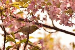 Fjädra den japanska Vit-ögat för bakgrund fågeln & rosa färger Cherry Blossoms Royaltyfria Foton