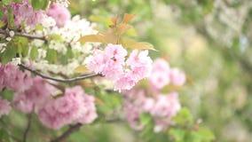 Fjädra den körsbärsröda treen stock video