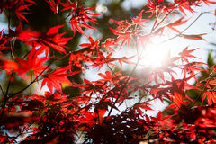 Fjädra den soliga dagen och röda sidor på ett träd Arkivfoton