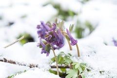 Fjädra den violetta blomman för hollowroot som (corydalis) täckas med snö Royaltyfri Bild