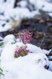 Fjädra den violetta blomman för hollowroot som (corydalis) täckas med snö Royaltyfria Foton