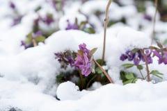 Fjädra den violetta blomman för hollowroot som (corydalis) täckas med snö Royaltyfri Foto