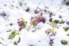 Fjädra den violetta blomman för hollowroot som (corydalis) täckas med snö Arkivbild