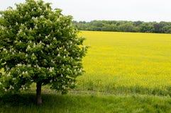 Fjädra det blomstra trädet mot fältet av våldtar, ett ämne Arkivfoto