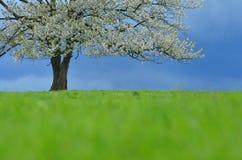 Fjädra det körsbärsröda trädet i blomning på grön äng under blå himmel Tapetsera i mjukt, frilägefärger med utrymme för ditt Royaltyfria Bilder